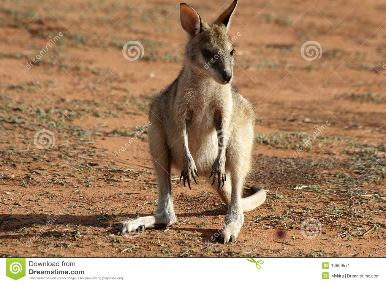 Baby Kangaroo Cute | www.pixshark.com - Images Galleries ...