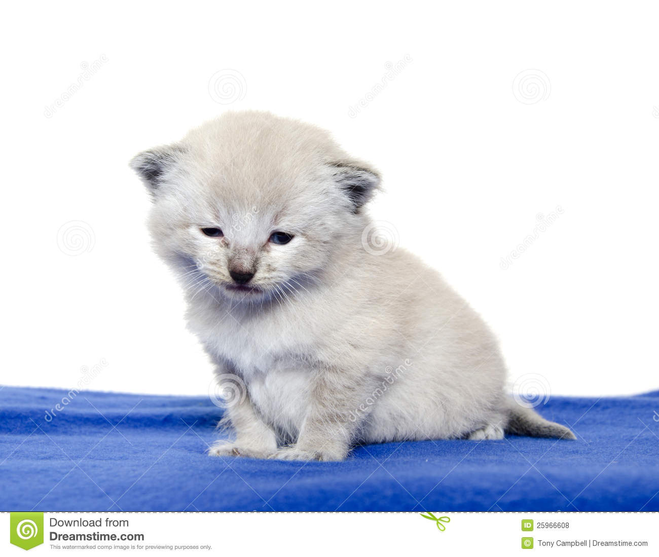 Cute Baby Kitten Blue Blanket Royalty Free Stock s Image