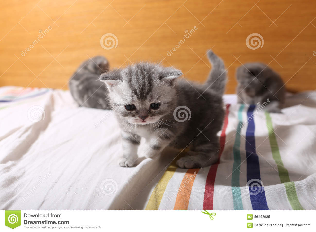 Cute Baby Kittens Playing The Bed Stock Image