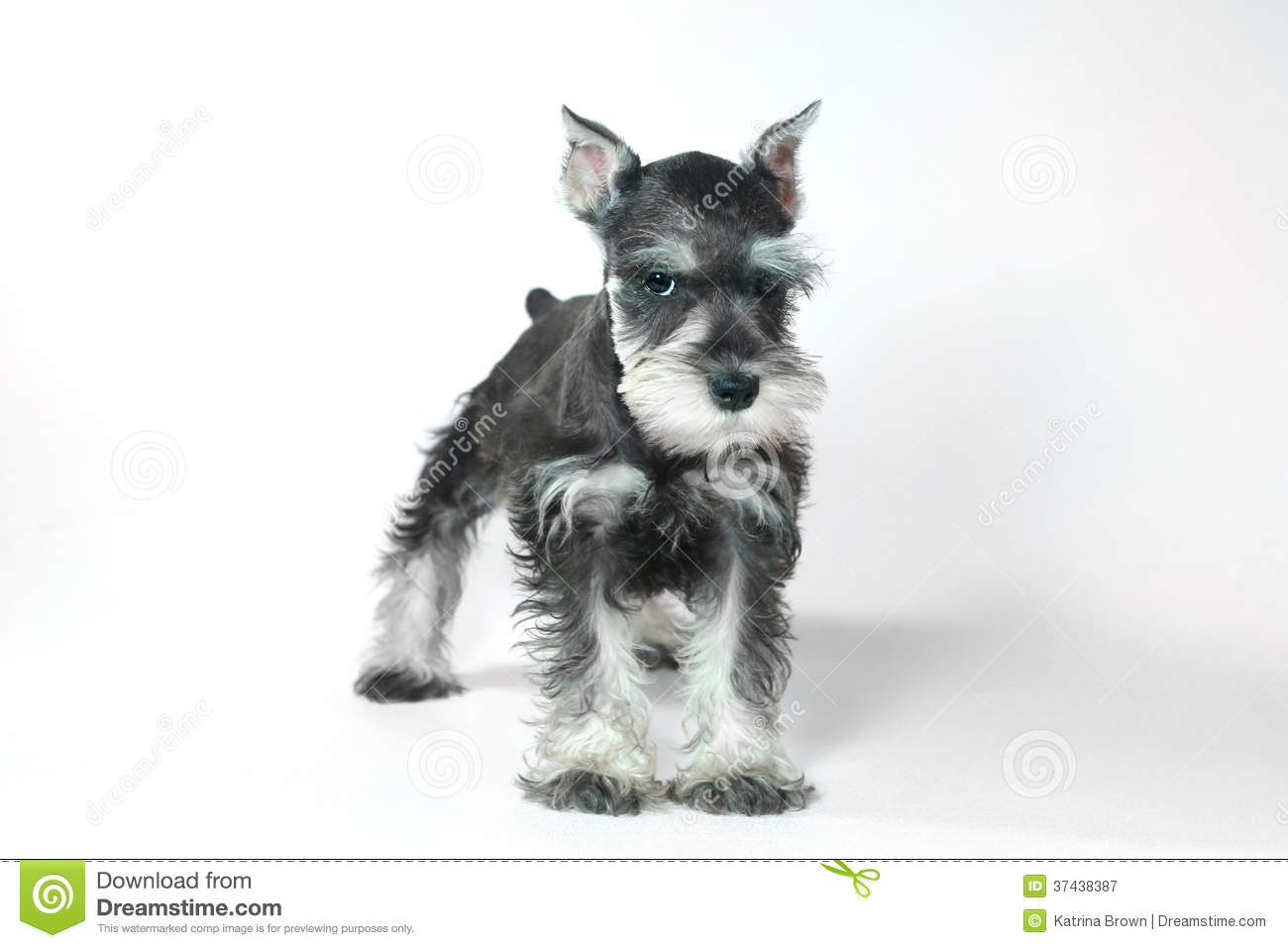 Cute Baby Miniature Schnauzer Puppy Dog On White Stock
