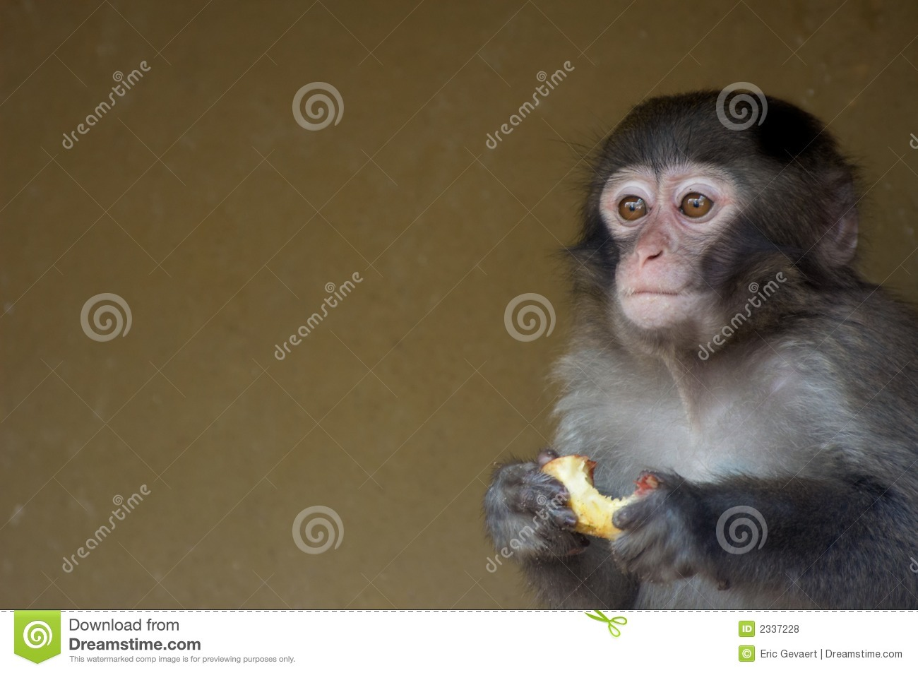 Cute Baby Monkey Stock Photo Image Of African Animals 2337228
