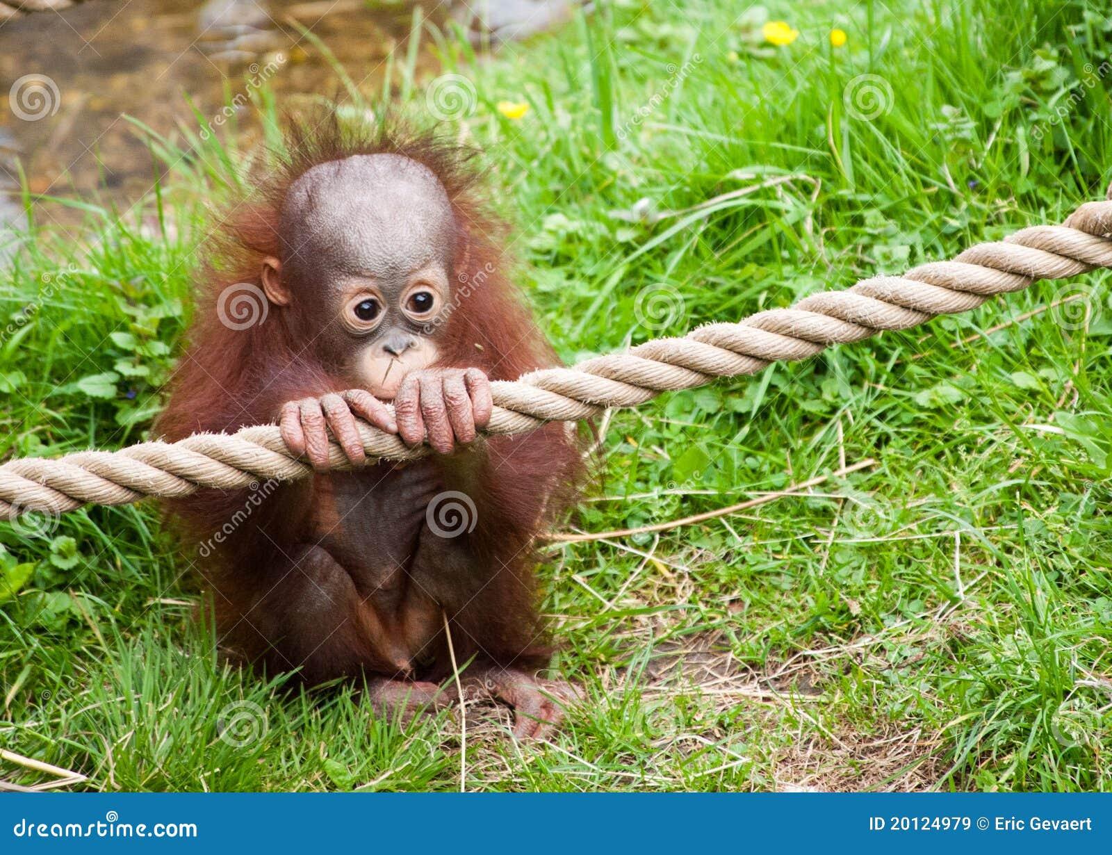 cute baby orangutan 20124979