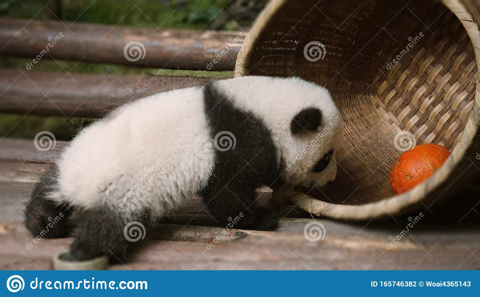 2 480 Baby Panda Photos Free Royalty Free Stock Photos From Dreamstime