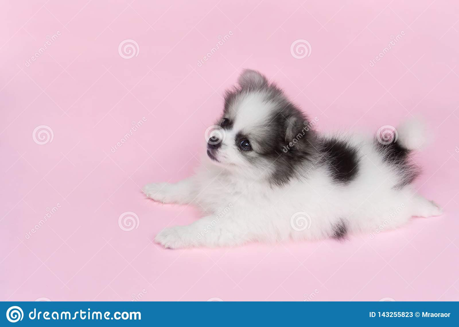 Cute Baby Pomeranian Dog On Pink Background For Pet Health Care Concept Selective Focus Stock Image Image Of Breed Domestic 143255823