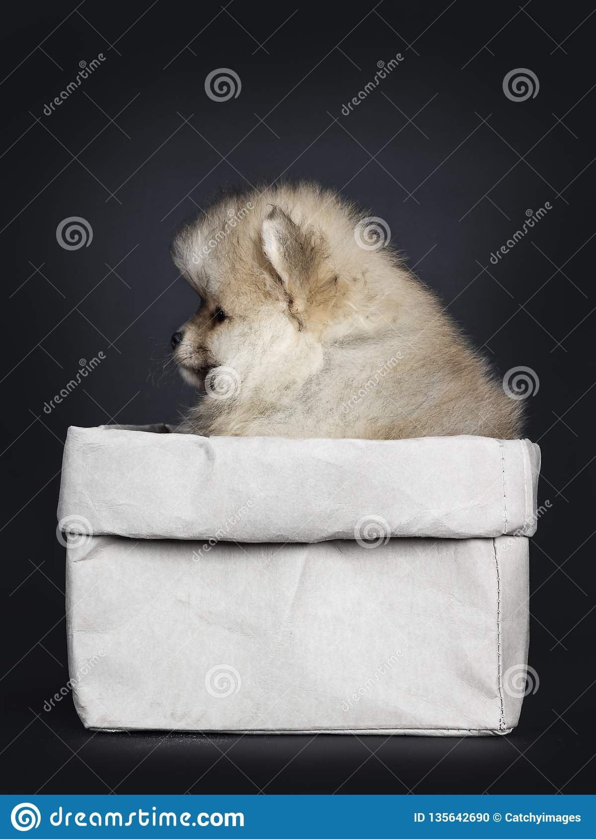 Cute Baby Pomeranian Puppy, Isolated On Black Background