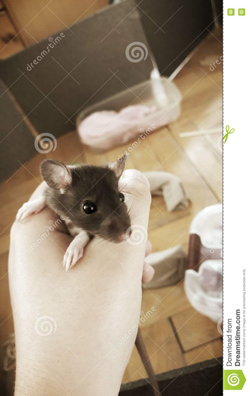 cute baby rat royalty free stock photography funny clipart of women on treadmill funny clip art free