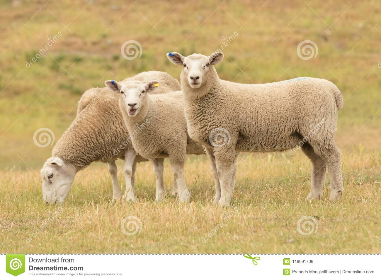Cute baby sheep over dry grass field