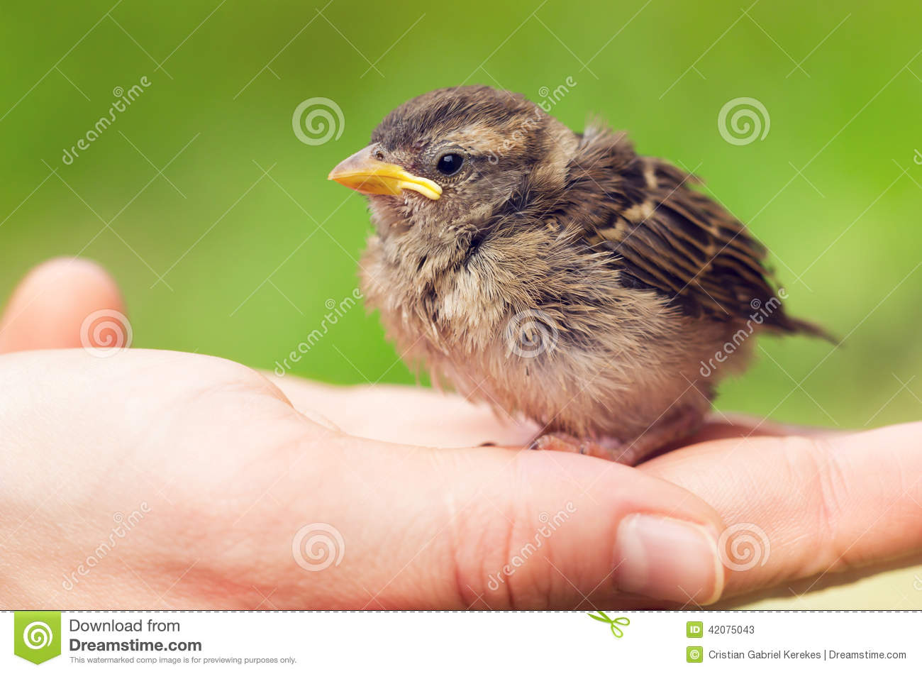 Stock Photo Cute Baby Sparrow Hand Sitting Against Green Background Im...
