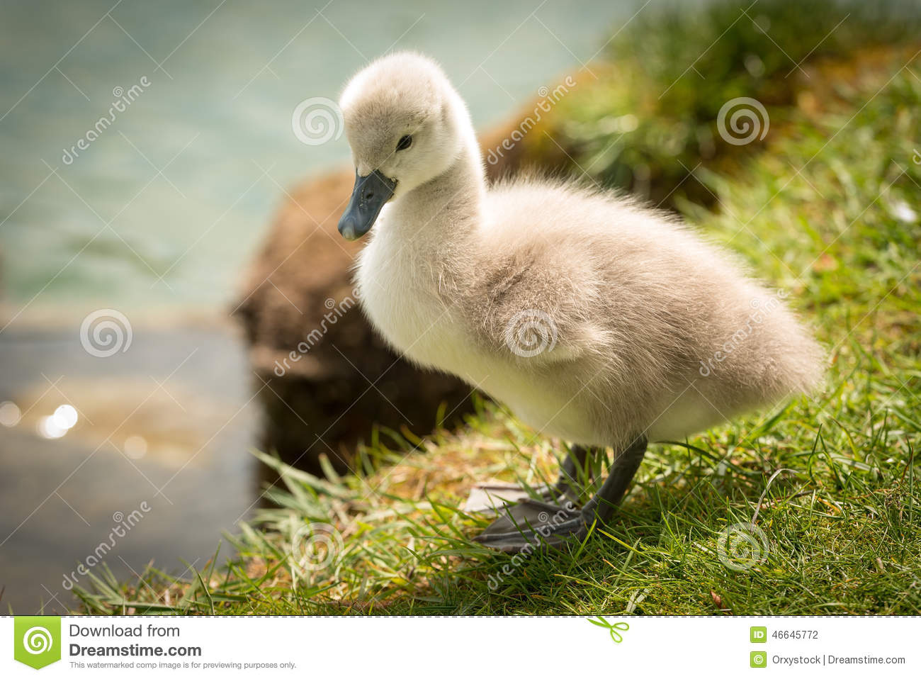 Cute Baby Swan stock photo. Image of baby, german, chick ...