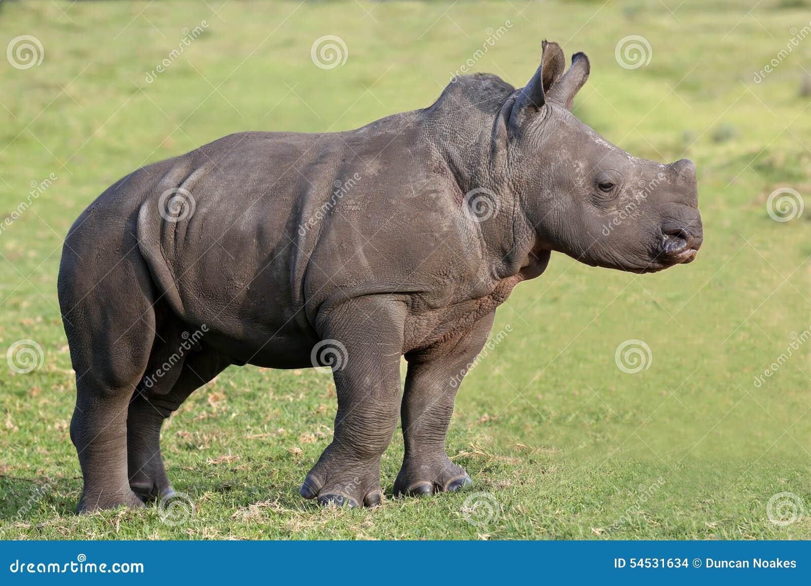 Cute Baby White Rhino