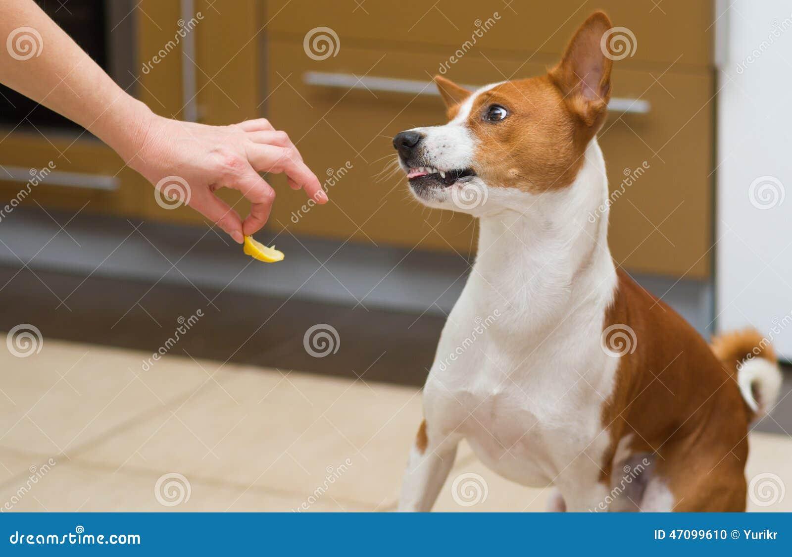 cute basenji dog wonders about eating lemon stock photo image of