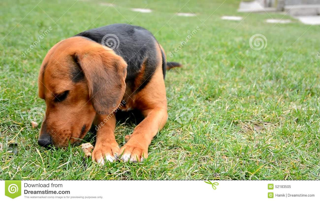 Popular Toy Beagle Adorable Dog - cute-beagle-bites-small-toy-brown-dog-lies-grass-garden-has-brown-black-color-closeup-front-portrait-52183505  Collection_428742  .jpg