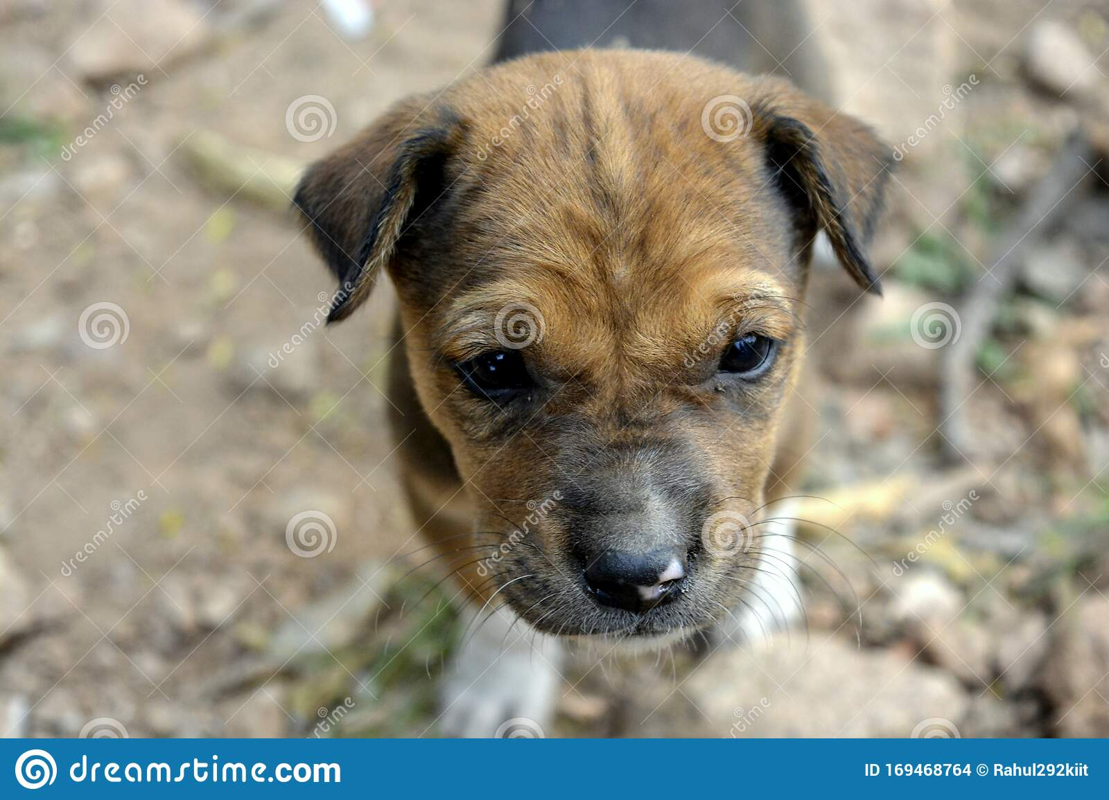 A Cute Beagle Puppy Dog Playing In The Park Stock Photo Image Of Puppy Cute 169468764