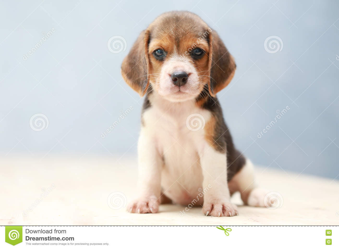 15 202 Cute Beagle Puppy Dog Photos Free Royalty Free Stock Photos From Dreamstime