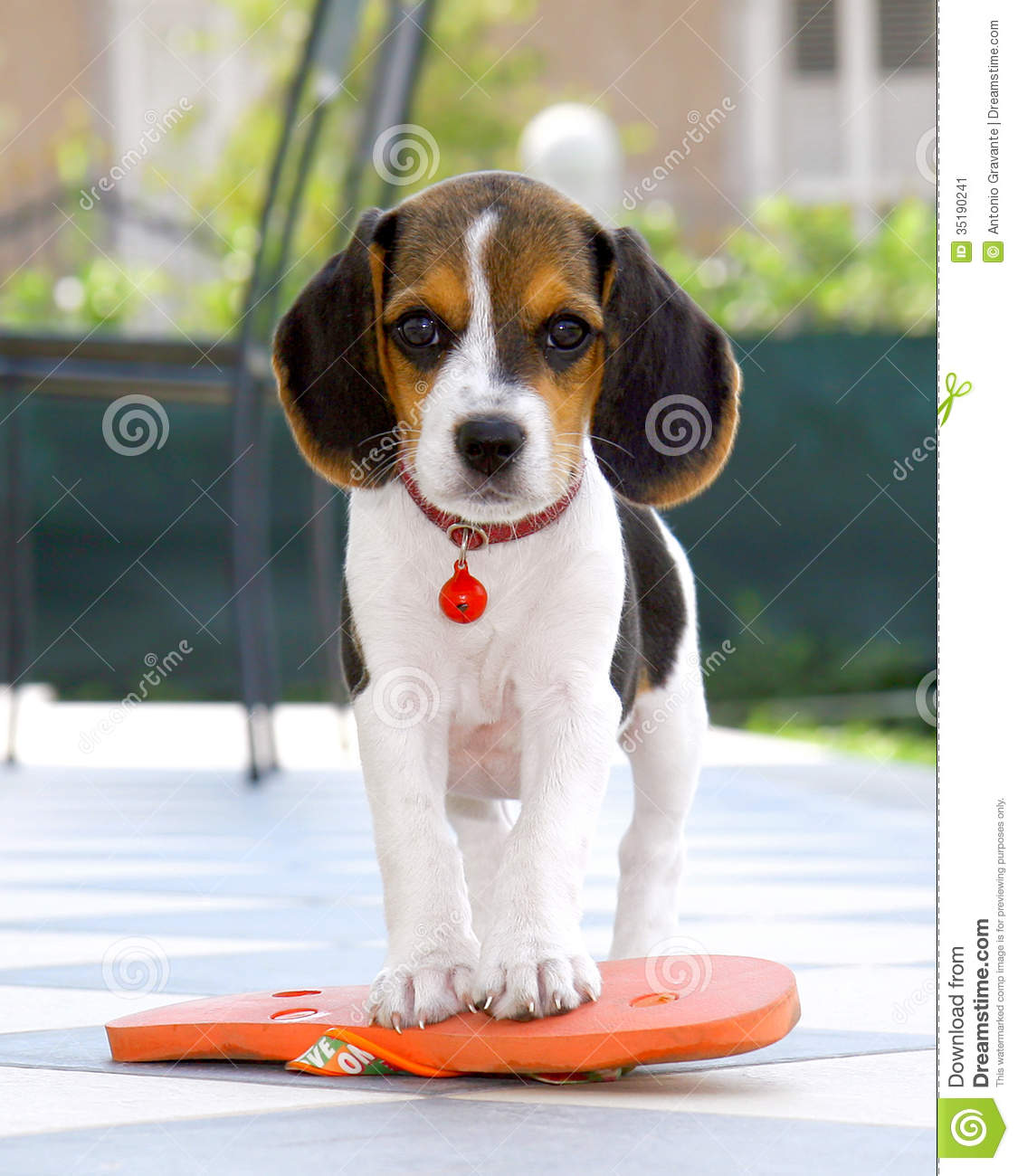 Cute Beagle puppy with flip flops on checkered flooring