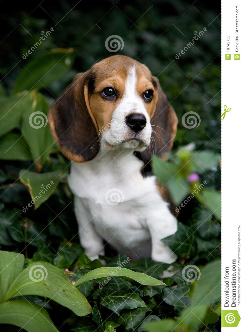 cute beagle puppy at park royalty free stock photos orangutan and the hound national geographic