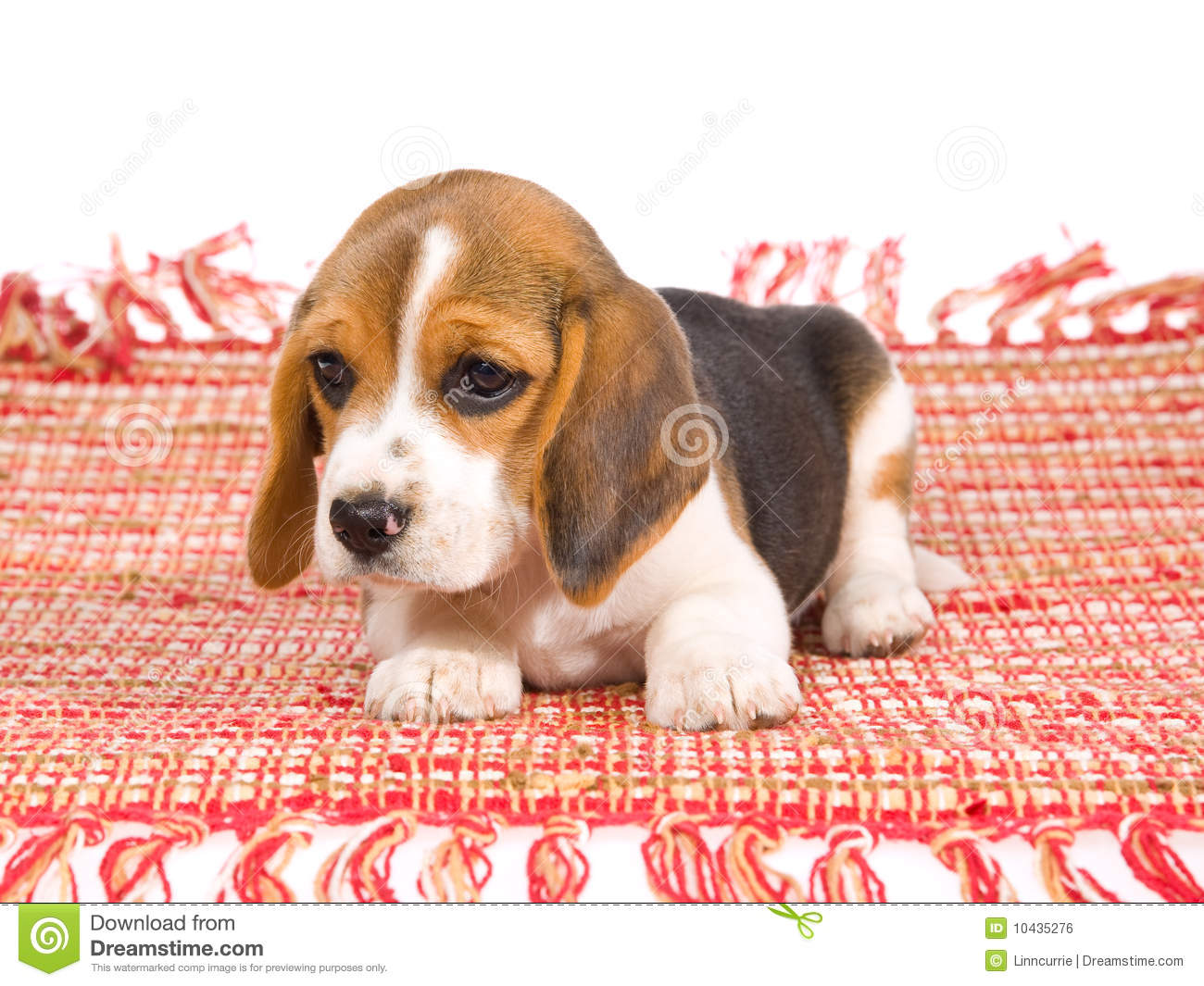 Cute Beagle Puppy On Red Carpet Stock Photo Image Of Haired Pedigreed 10435276