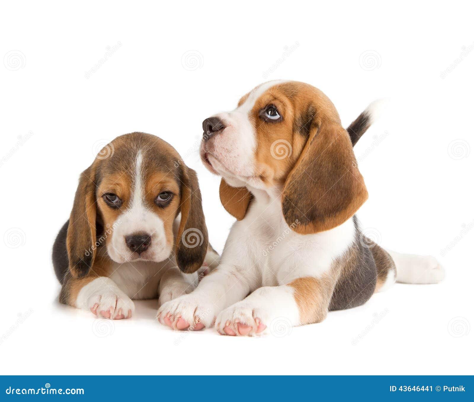 Cute Beagle Puppy Stock Photo - Image: 43646441
