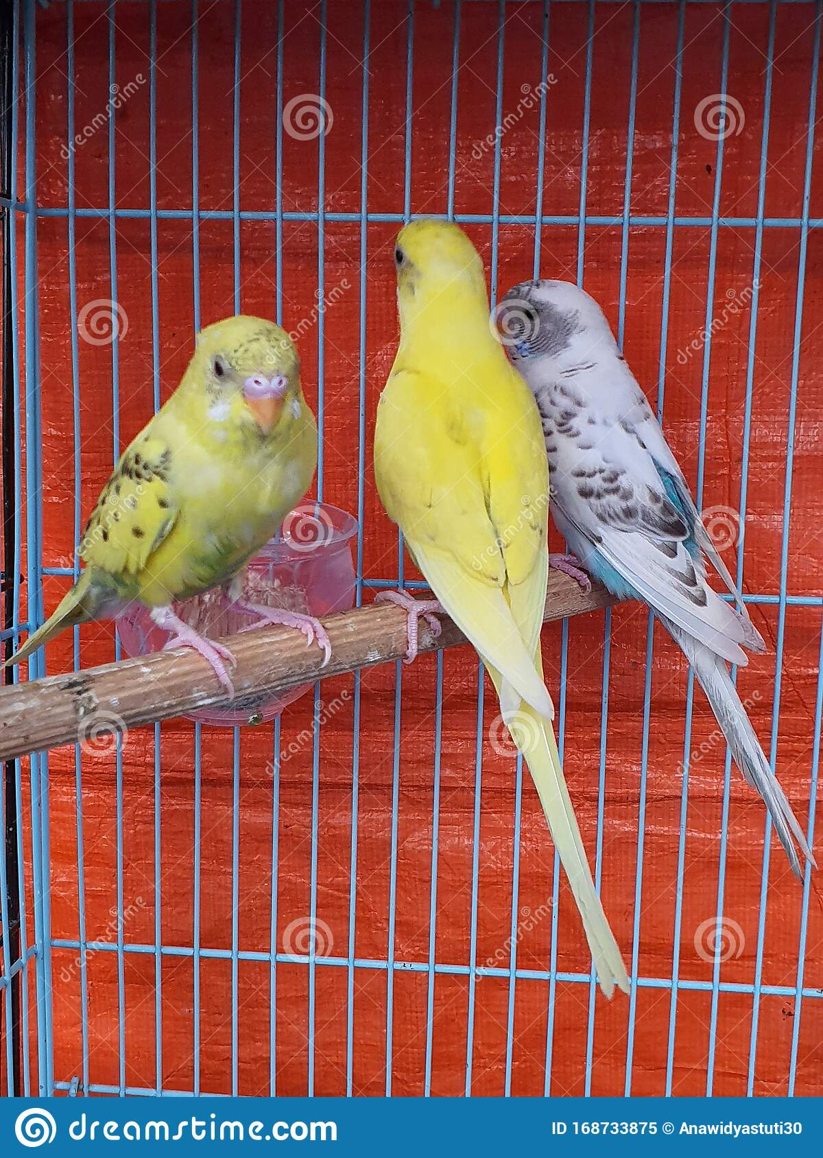 Cute And Beautiful Birds Stock Image Image Of Cage 168733875