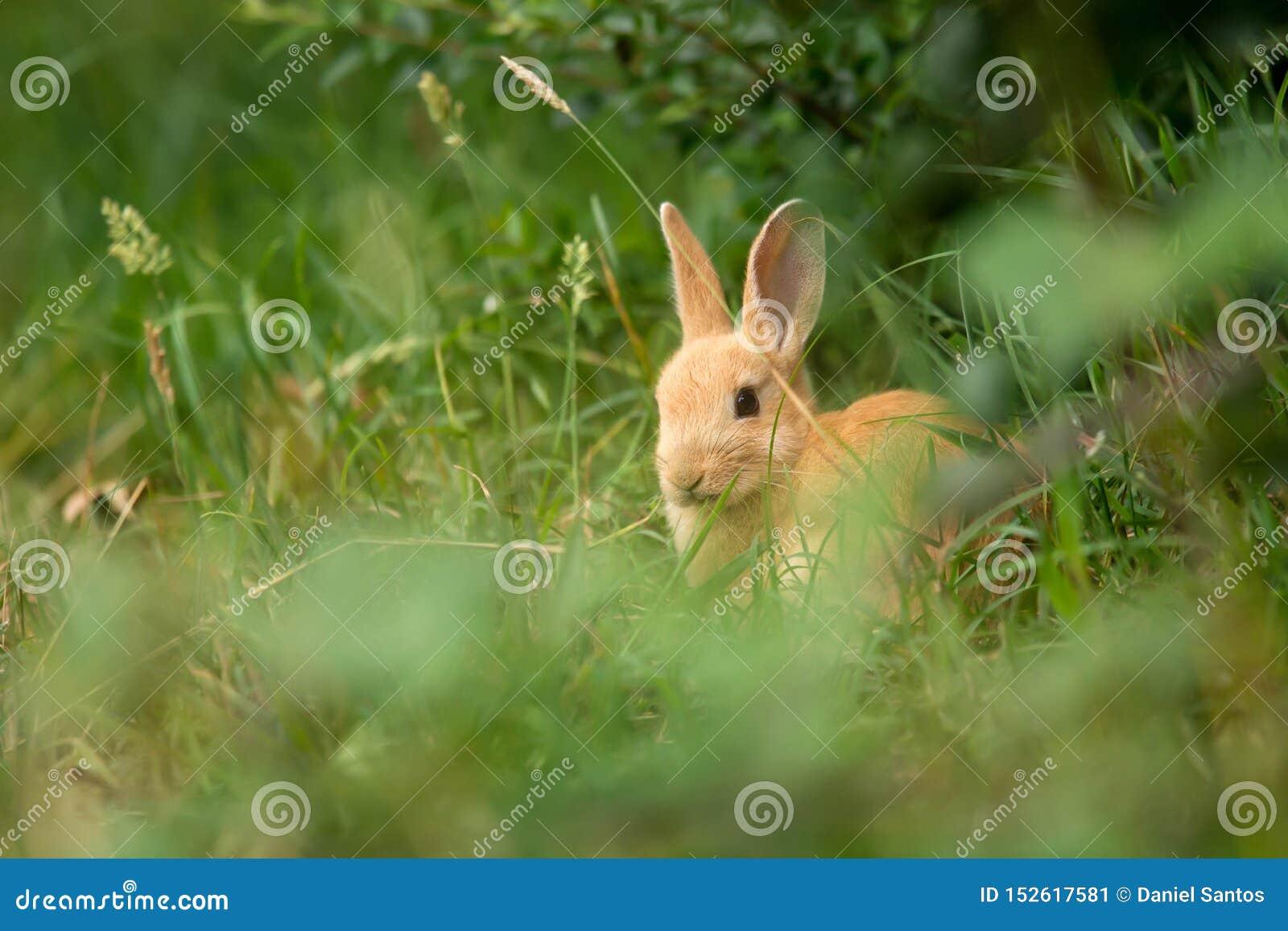 Cute beige rabbit in the grass