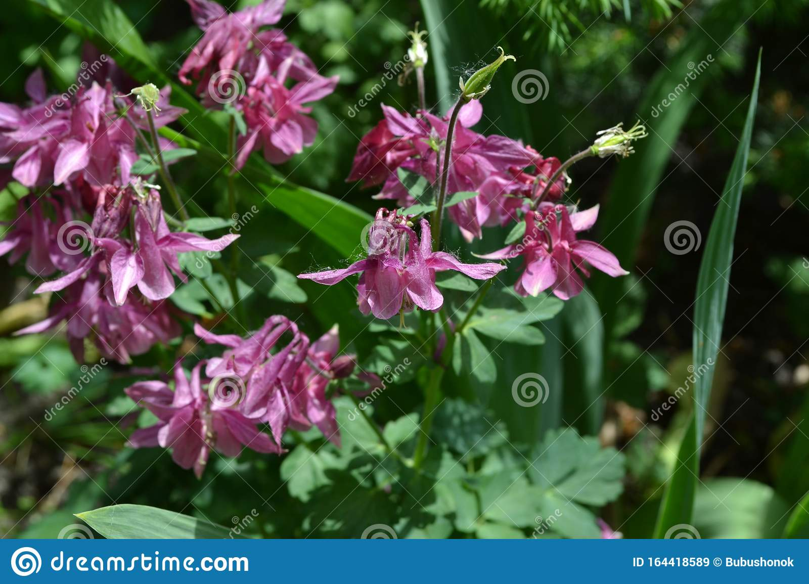 Green Bushes Branches Aquilegia Grassy Perennial Plants Of The