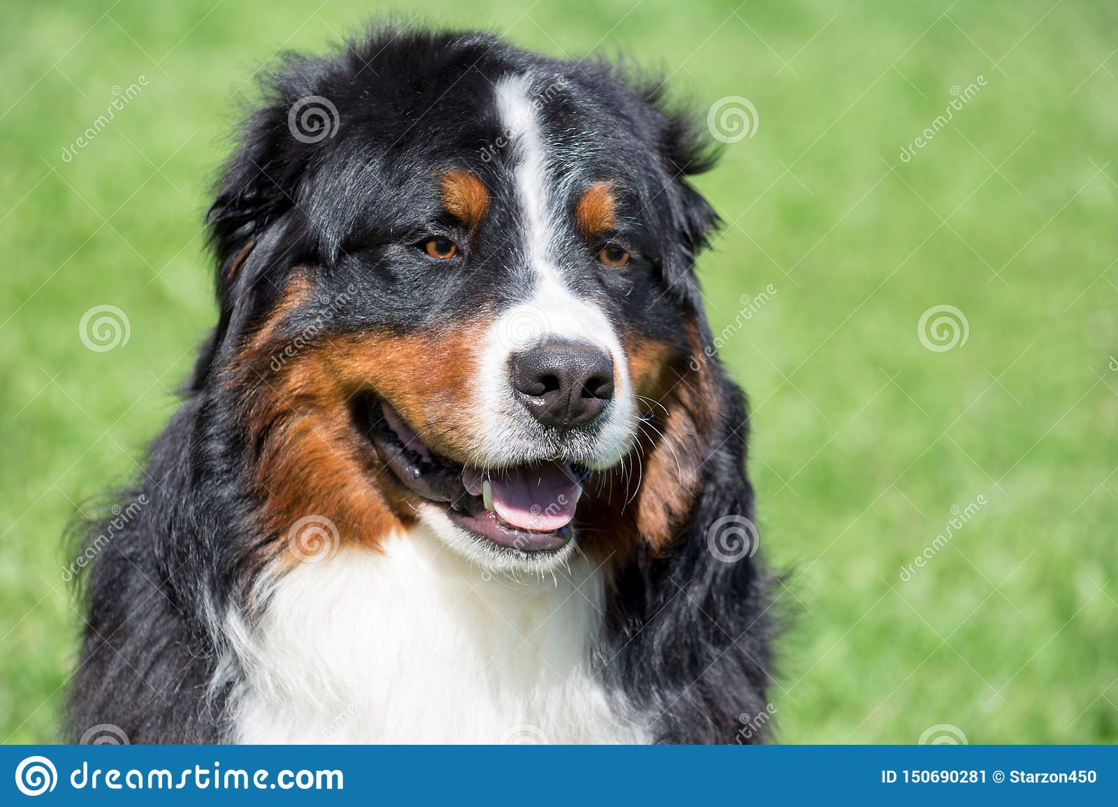 Cute Bernese Mountain Dog Puppy Close Up Berner Sennenhund Or Bernese Cattle Dog Stock Image Image Of Puppy Meadow 150690281