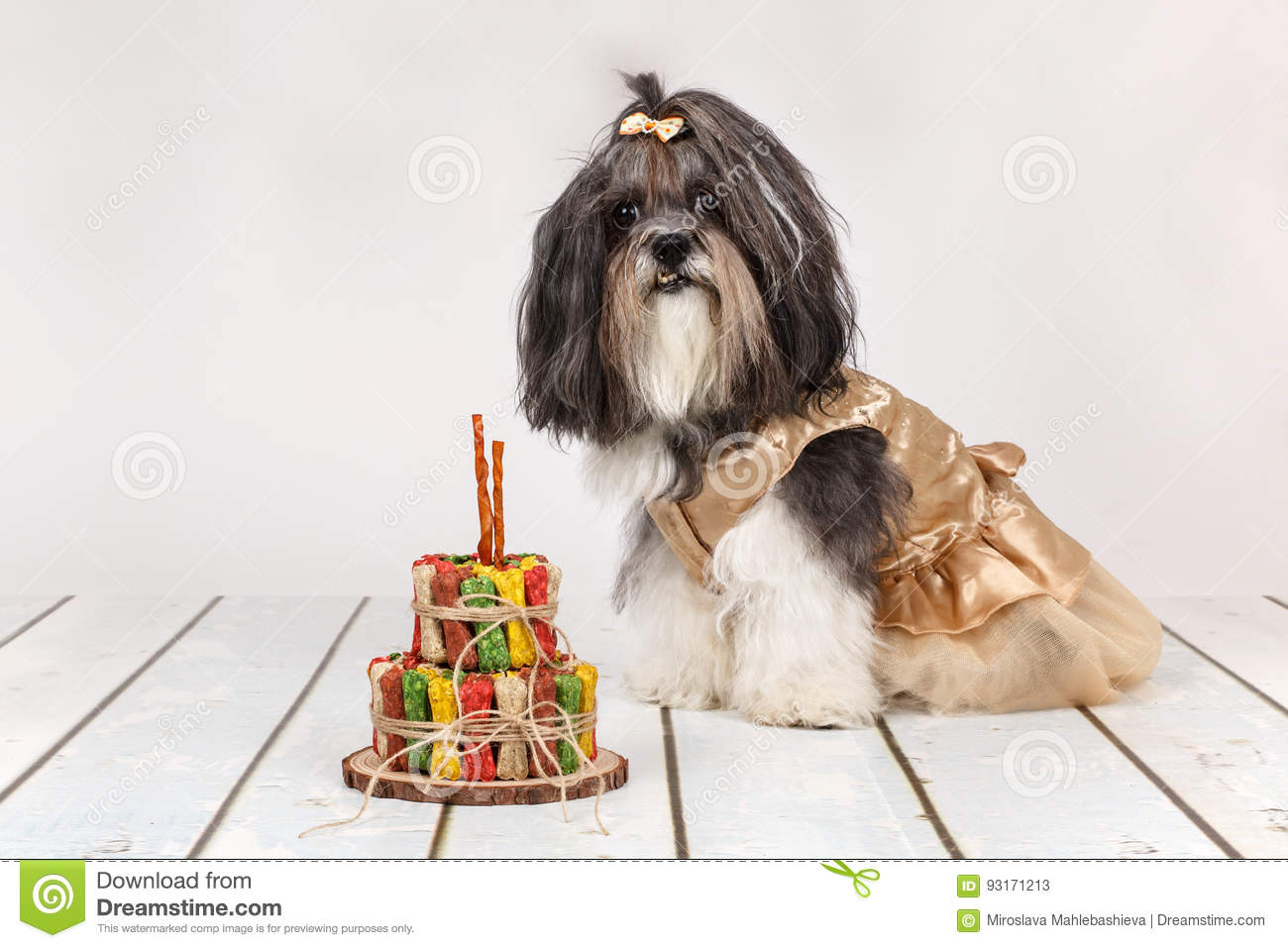 Cute Bichon Havanese Dog Dressed Up And Birthday Cake Made Of Treats