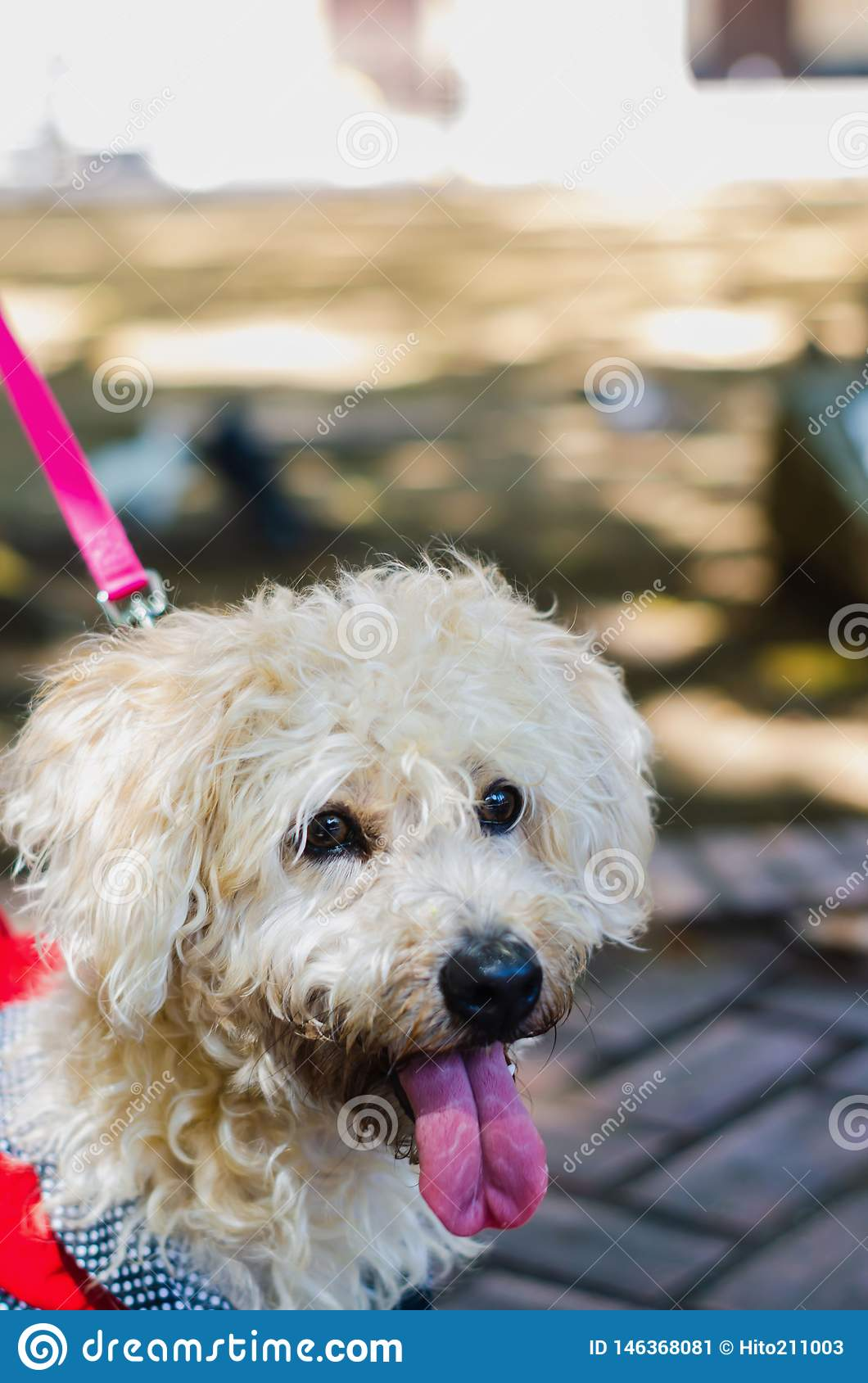Cute poodle dressed walking white in park