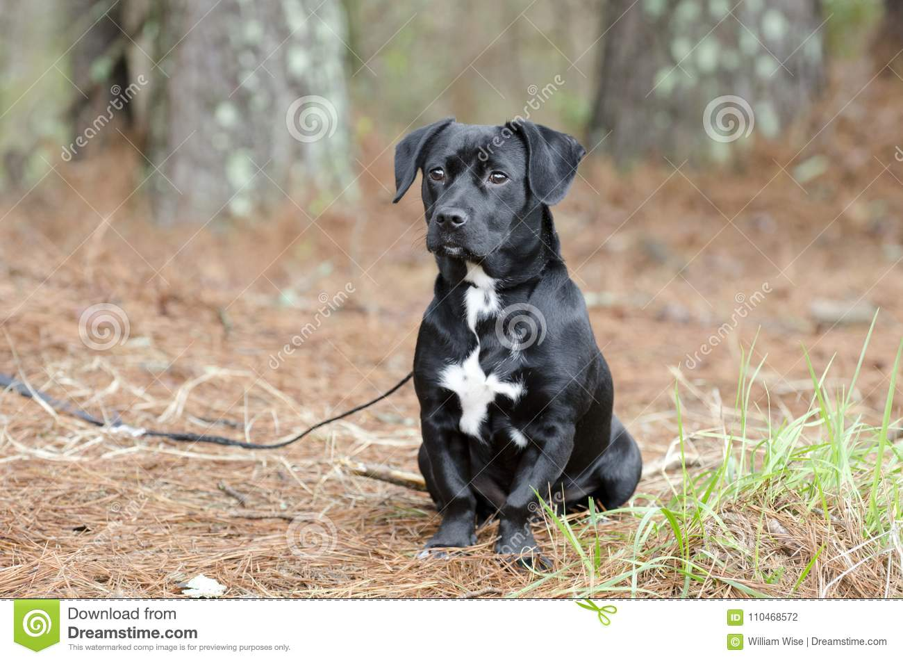 Cute Black Beagle Dachshund Mixed Breed Puppy Dog Mutt Stock Photo