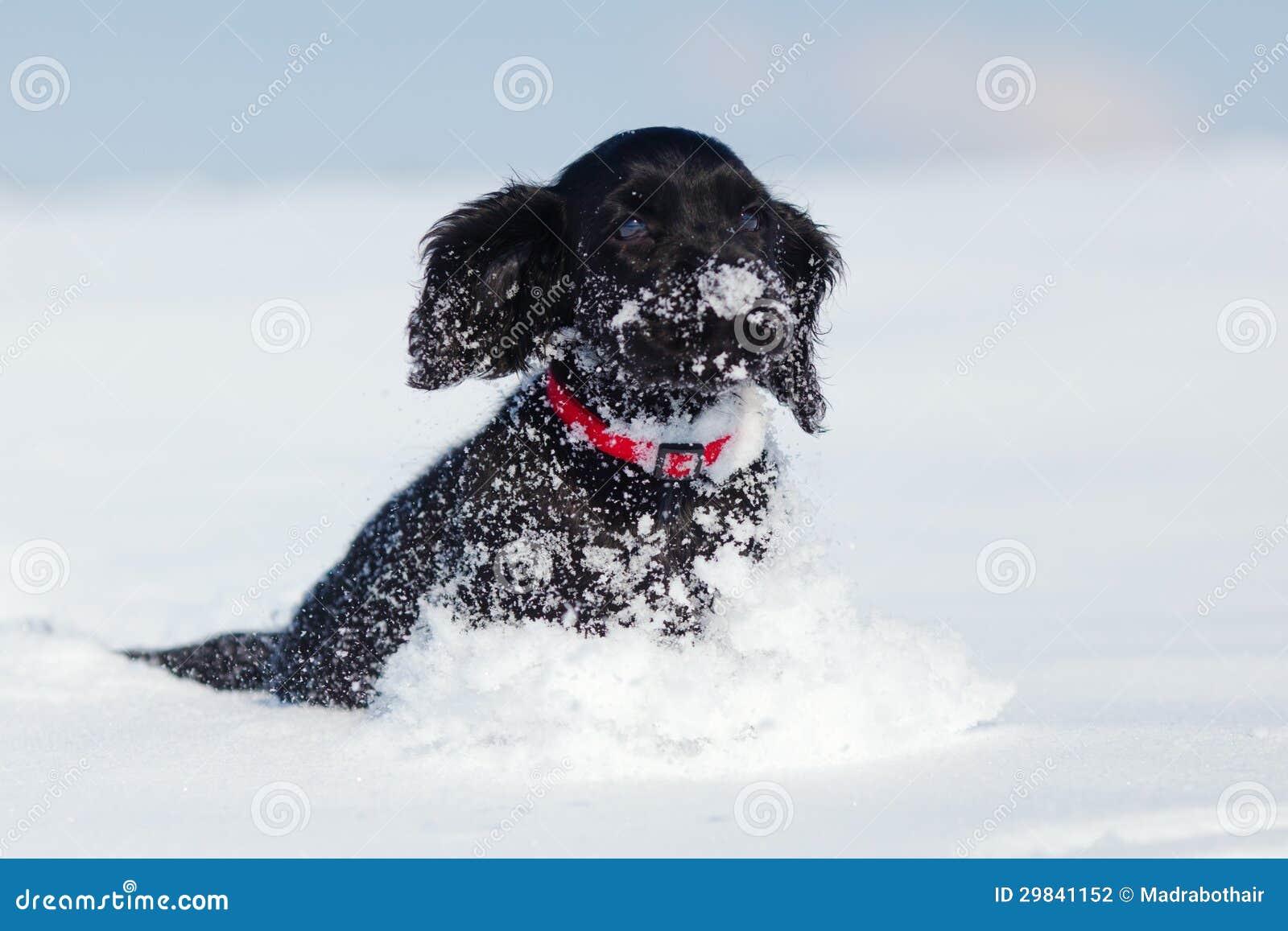 Cocker Spaniel Puppy Runs Through The Snow Stock Photo Image Of Walking Snow 29841152