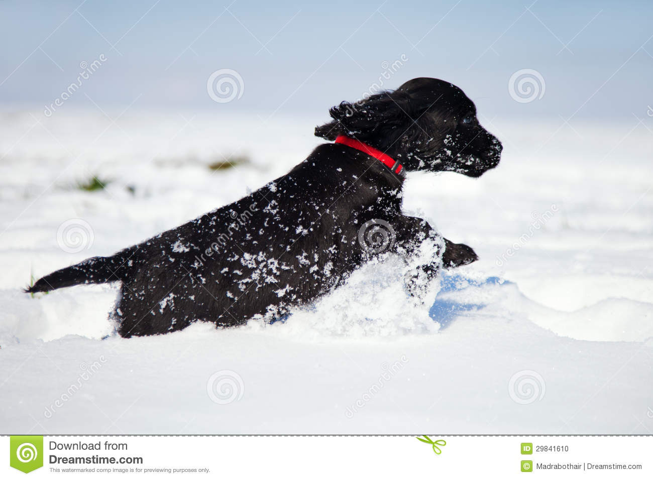 Black Cocker Spaniel Puppy Runs In The Snow Stock Photo Image Of Meadow Play 29841610