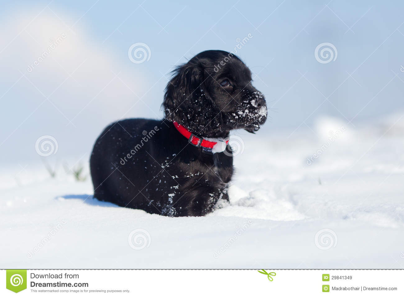 Cute Cocker Spaniel Puppy In The Snow Stock Image Image Of Snowflakes Space 29841349
