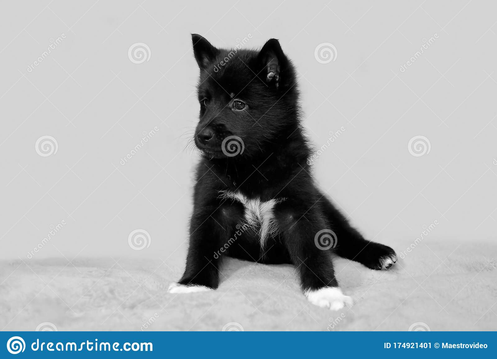 Cute Black Husky Puppy Stock Image Image Of Canine 174921401