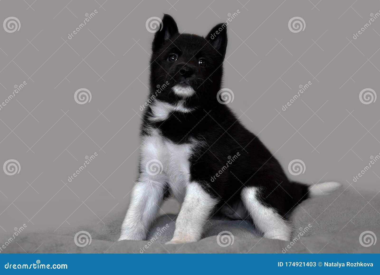 Cute Black Husky Puppy Stock Image Image Of Husky Baby 174921403