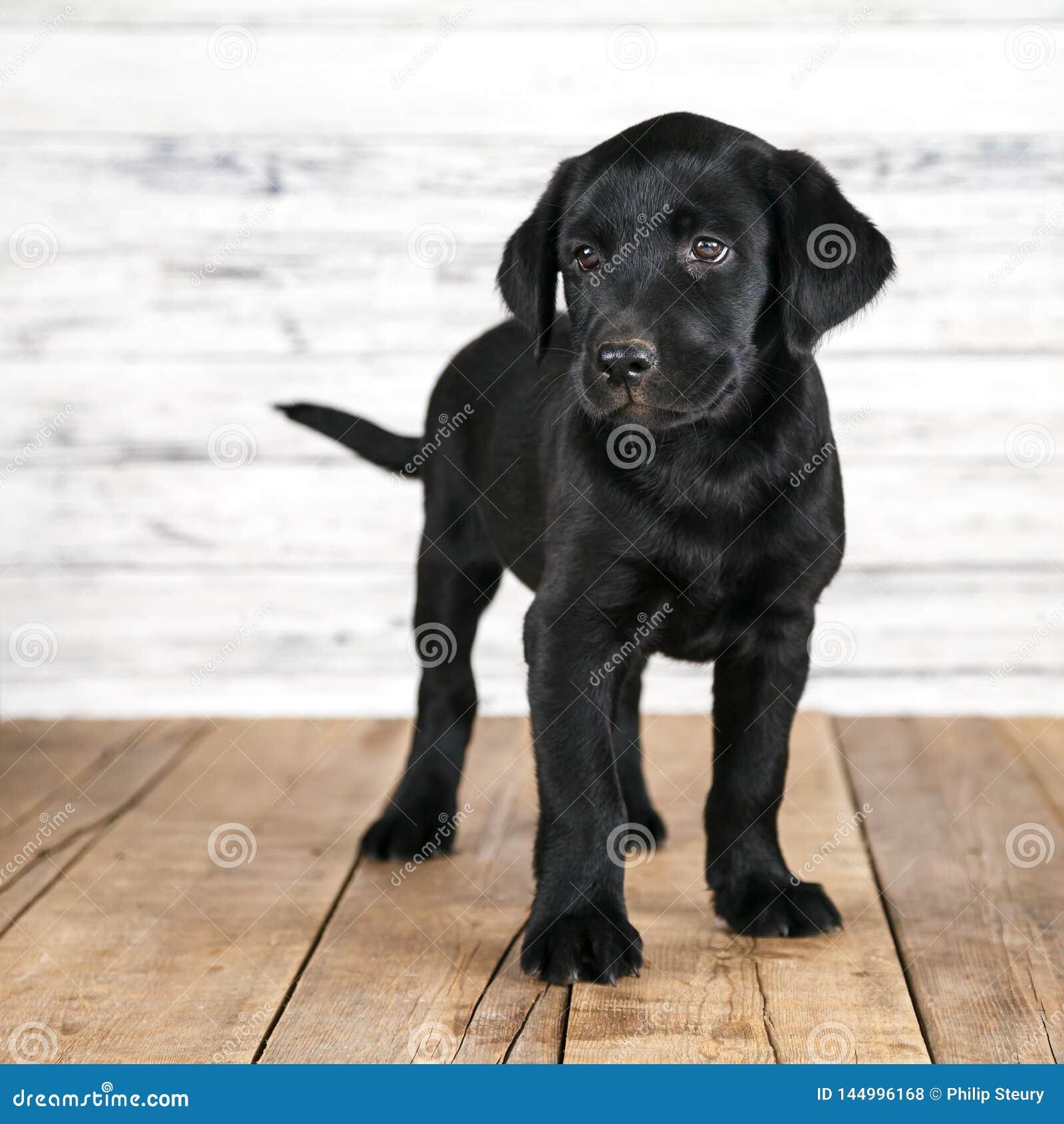 Cute Black Labrador Puppy Stock Photo Image Of Cute 144996168