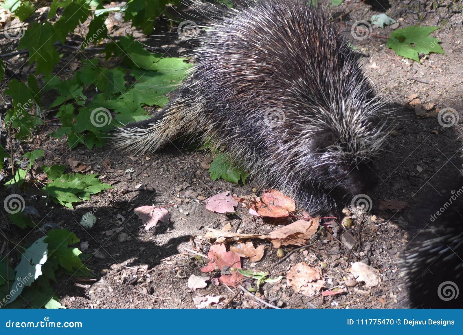 Cute black porcupine walking through some leaves
