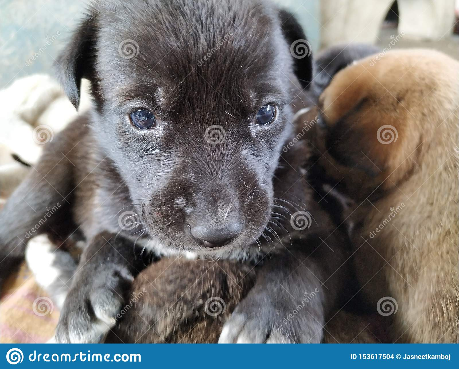 Cute Black Puppy With Beautiful Blue Eyes Sitting On Another Puppy Stock Photo Image Of Sitting Blue 153617504