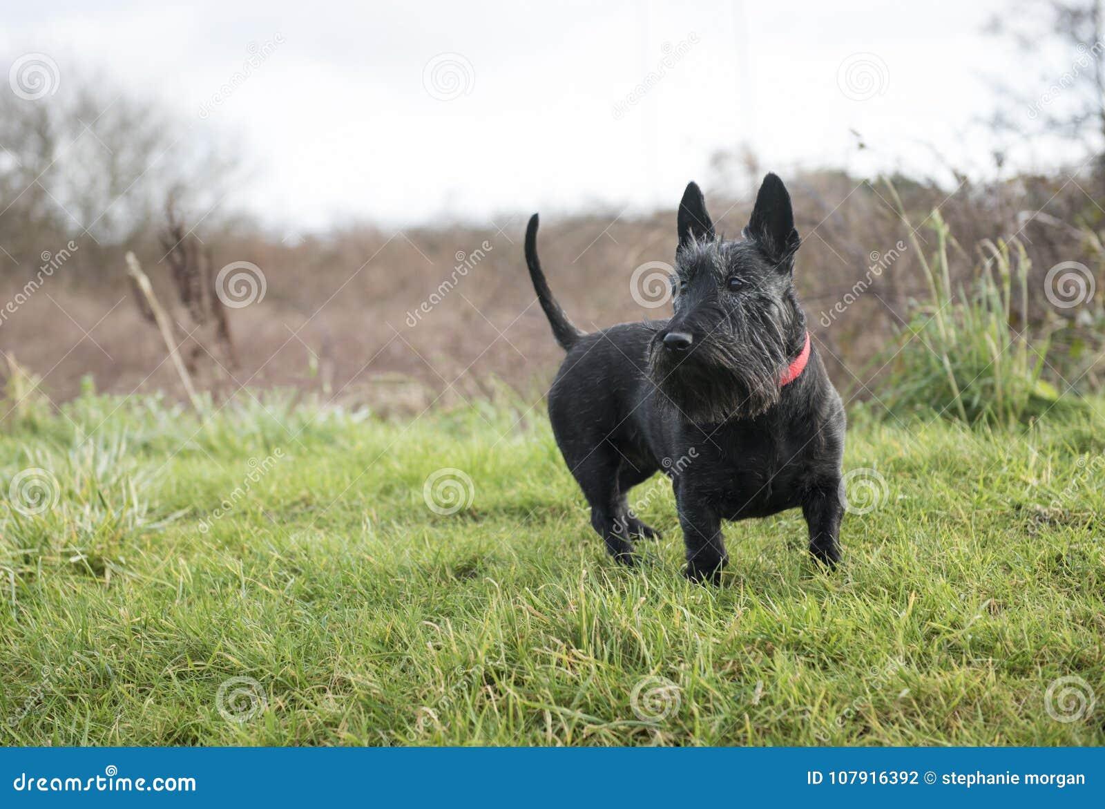 Cute black Scottish Terrier dog on green grass