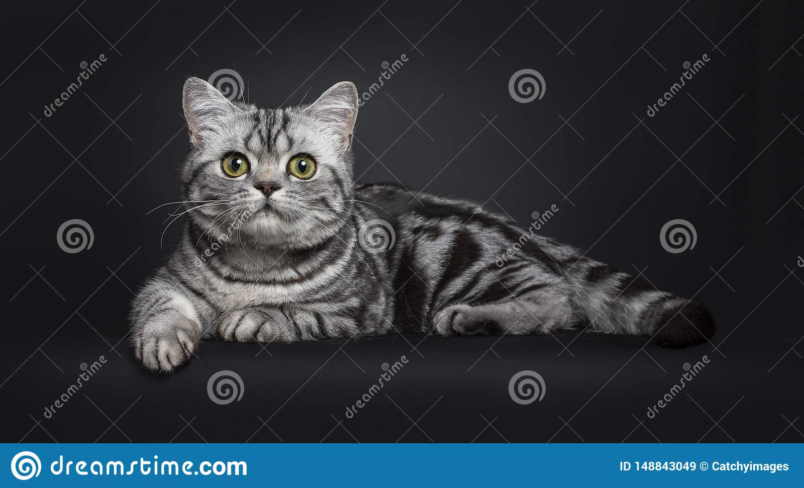 Cute Black Silver British Shorthair Kitten On Black Stock Image Image Of Quality Isolated 148843049