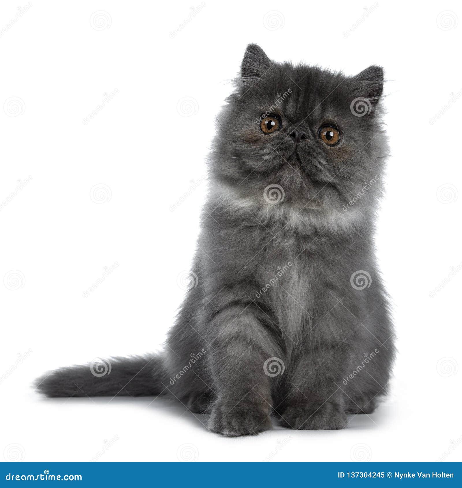Cute Black Smoke Persian Cat Kitten, Isolated On White
