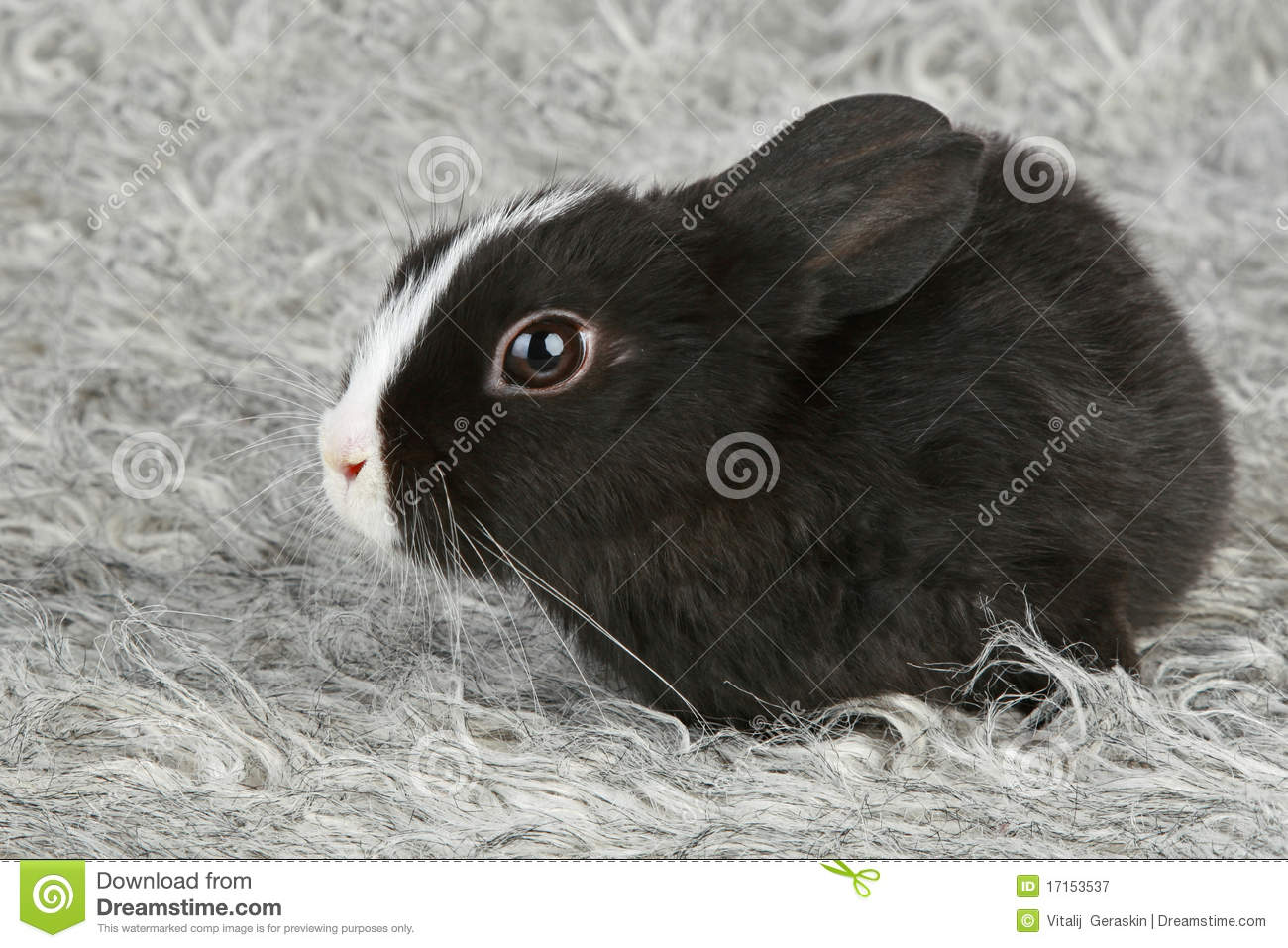 Cute Black And White Baby Rabbit Royalty Free Stock ...
