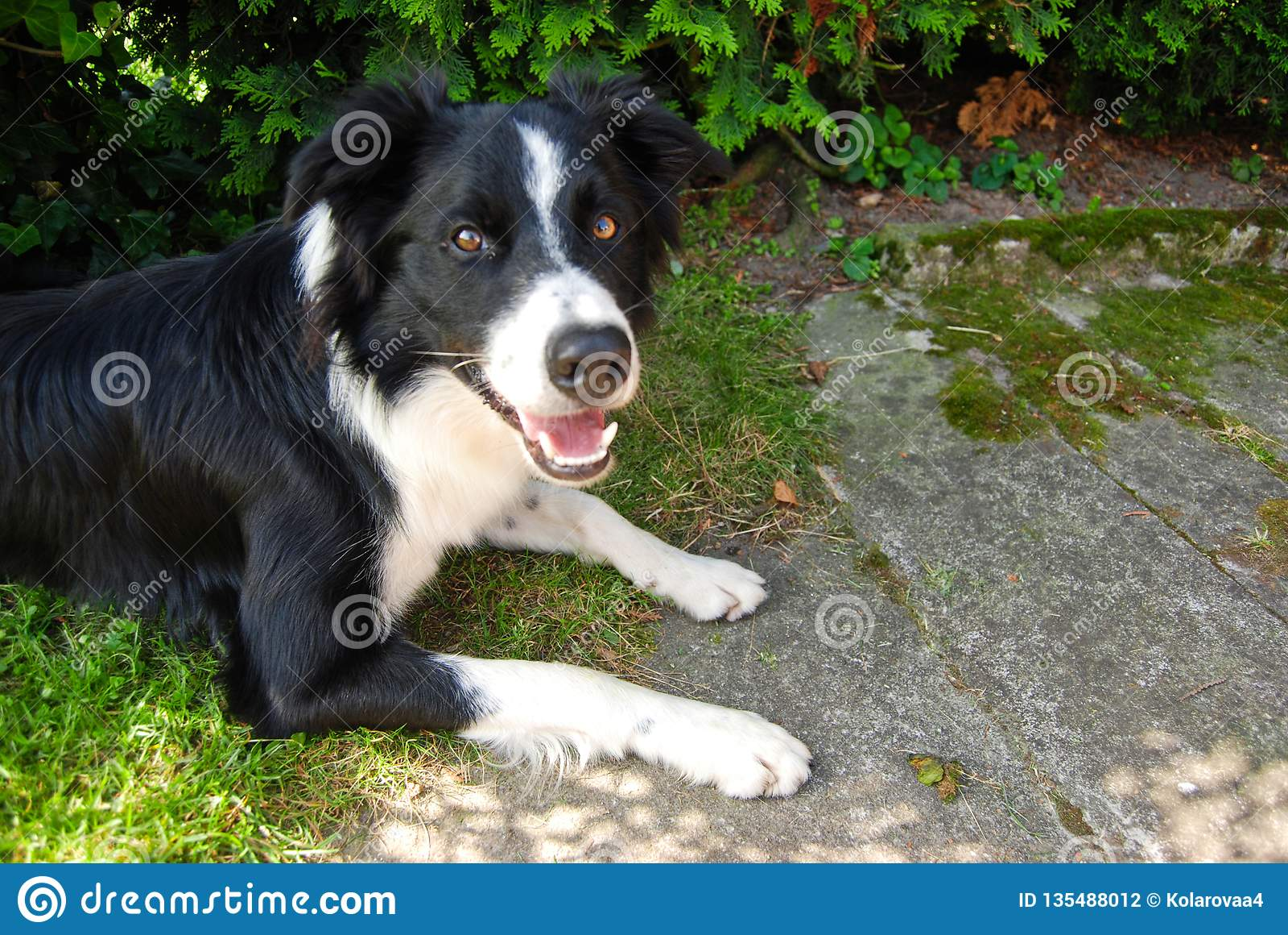 Cute dog - Border Collie, Czech Republic, summer