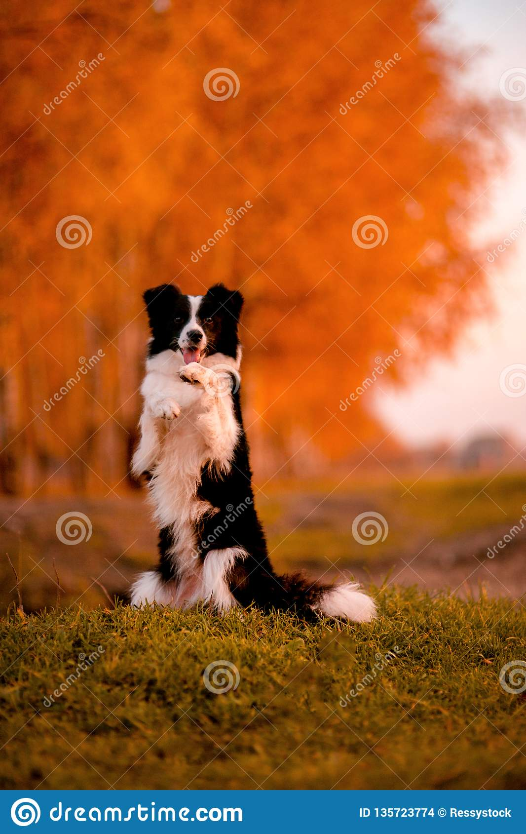 Black and white dog Border collie stay on grass. sunset. yellow forest on background. autumn