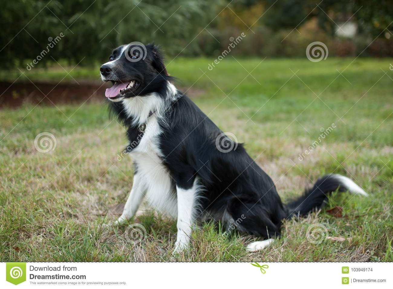 Cute black and white dog sitting on field with tongue hanging out during summer day.