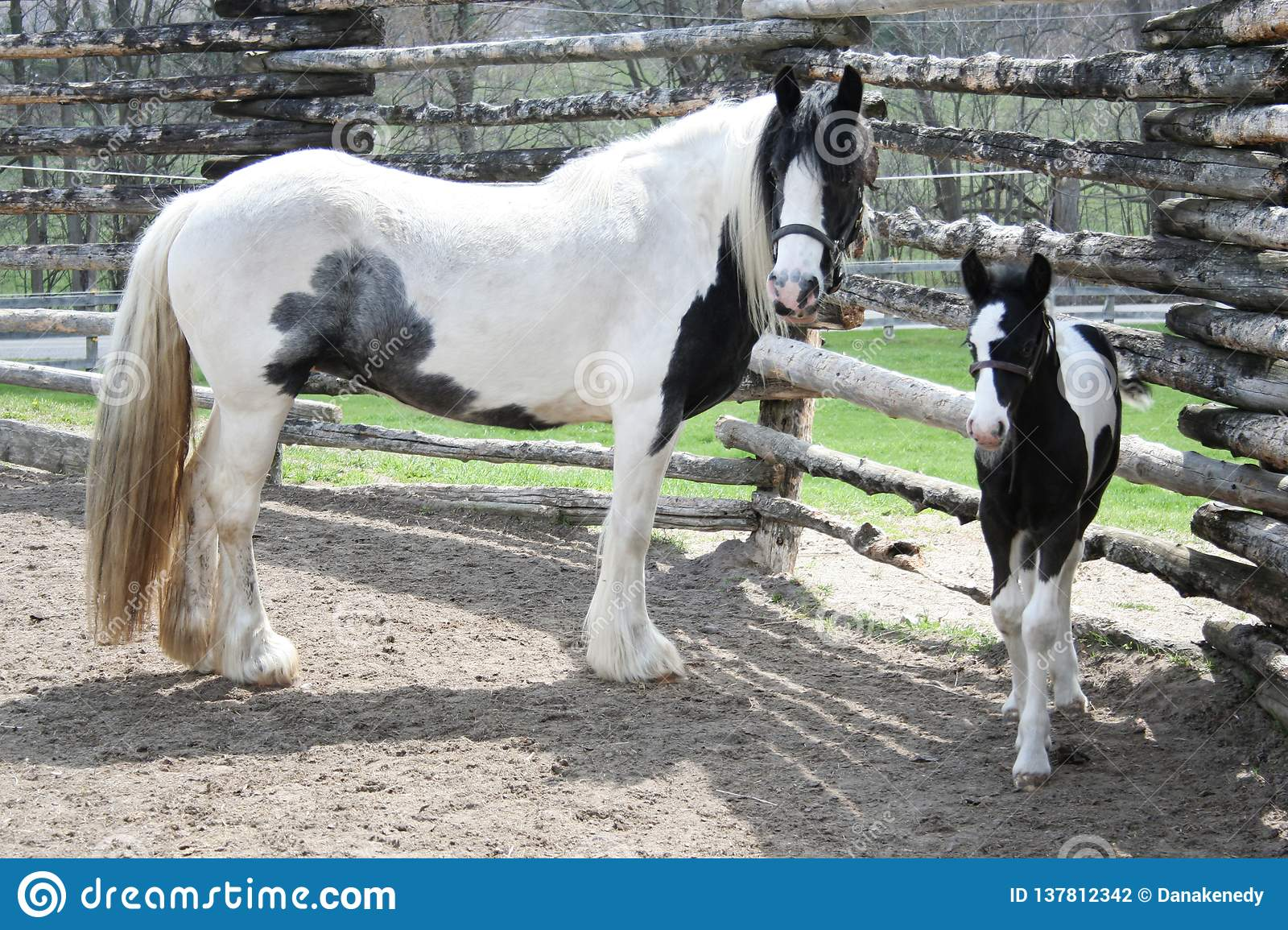 Cute Black And White Foal And Momma Horse Stock Photo Image Of Horses Baby 137812342