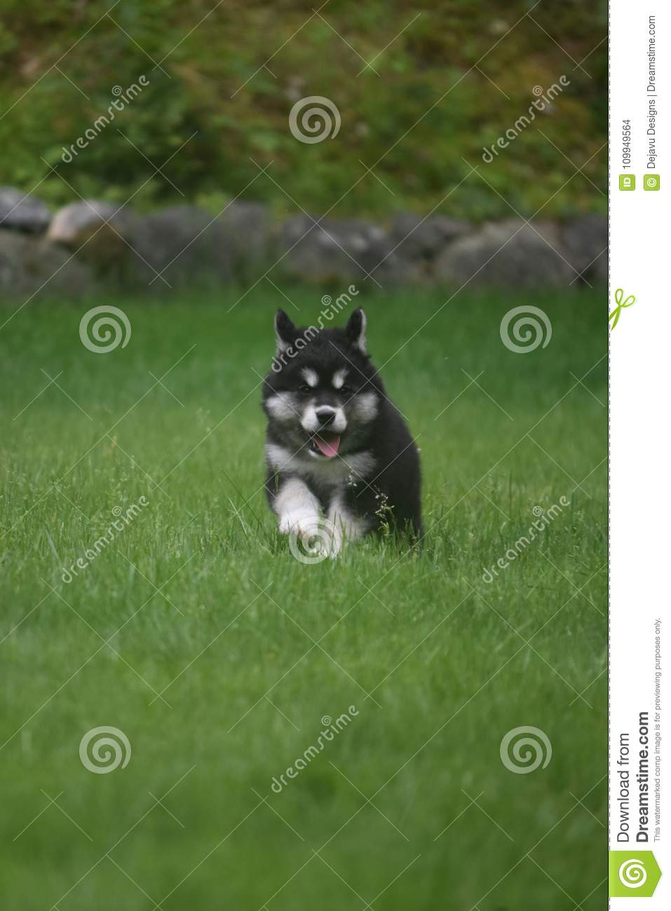 Cute black and white husky puppy running in a field