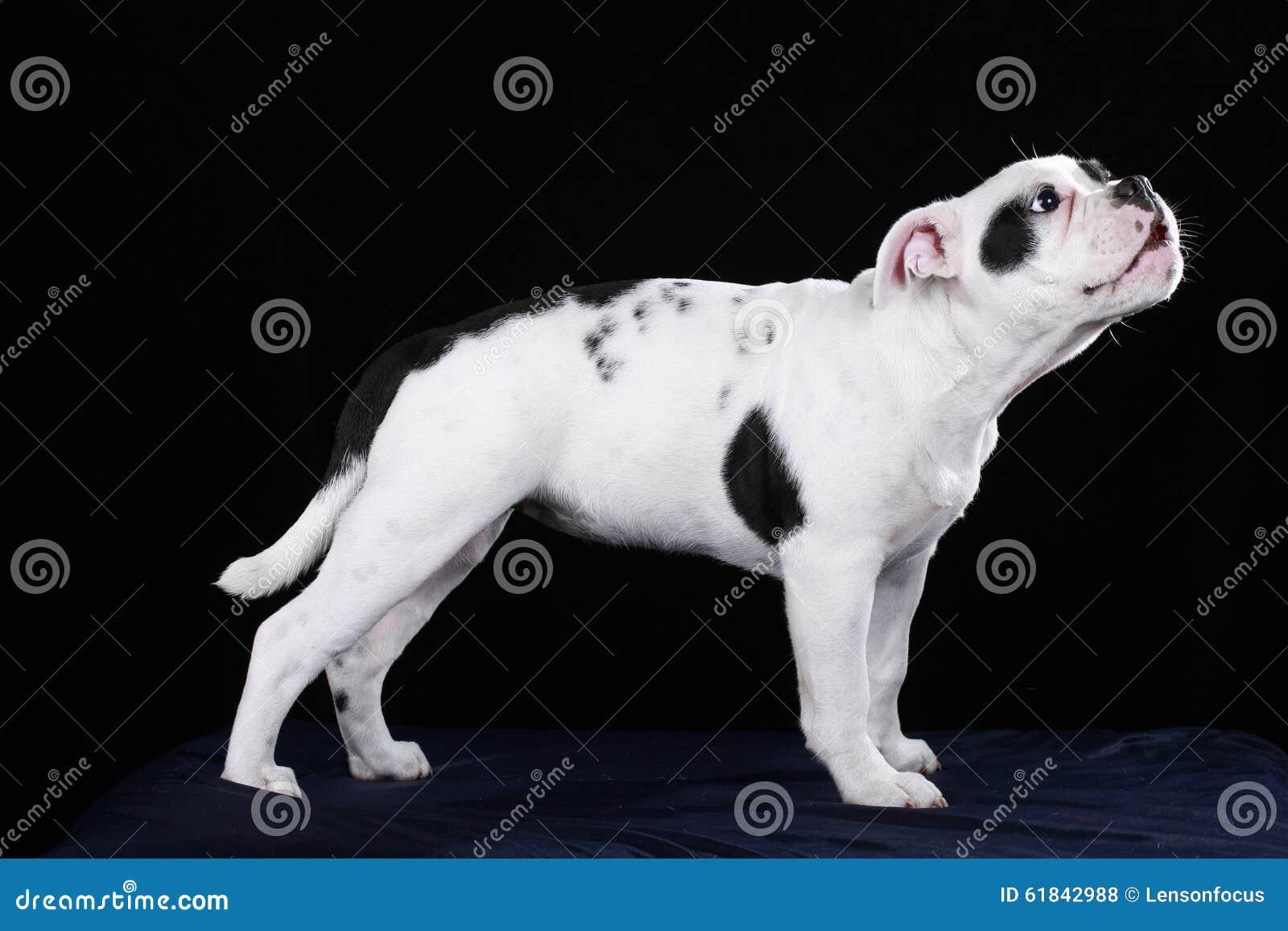 Cute Black And White Old English Bulldog Puppy Stock Photo Image