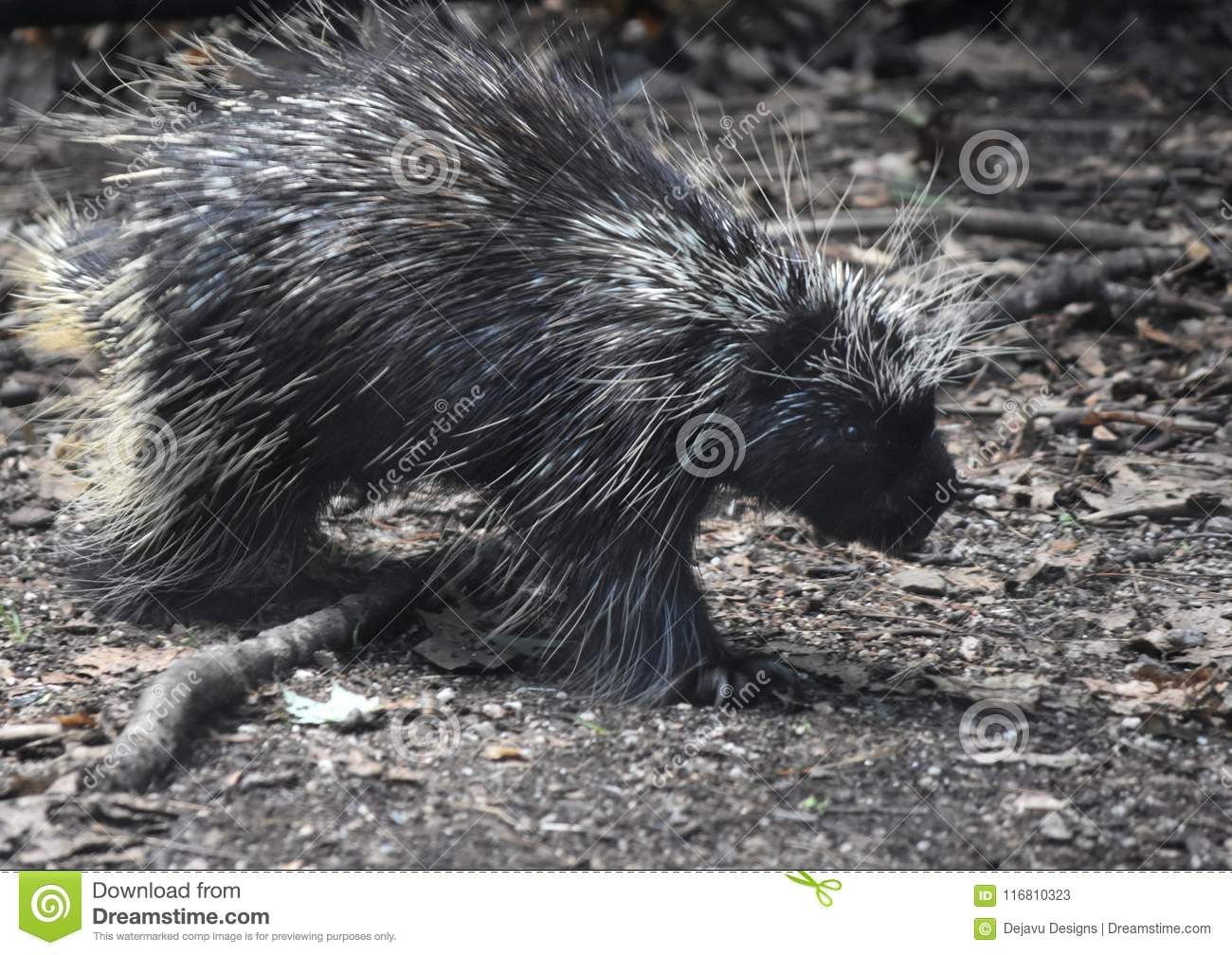 Cute black and white porcupine walking over a stick