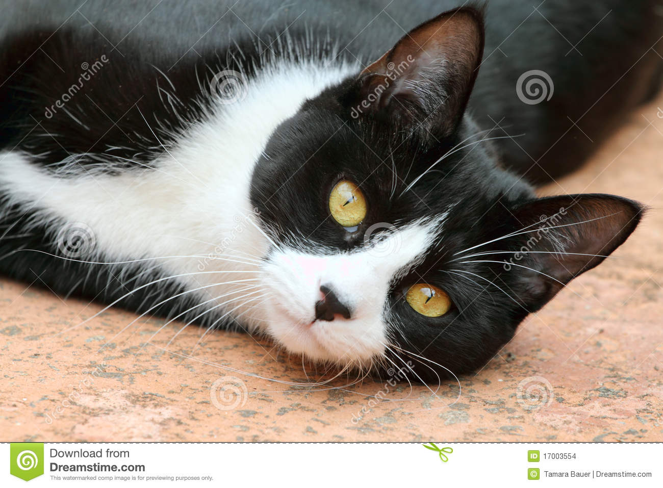 Cute black and white tuxedo cat