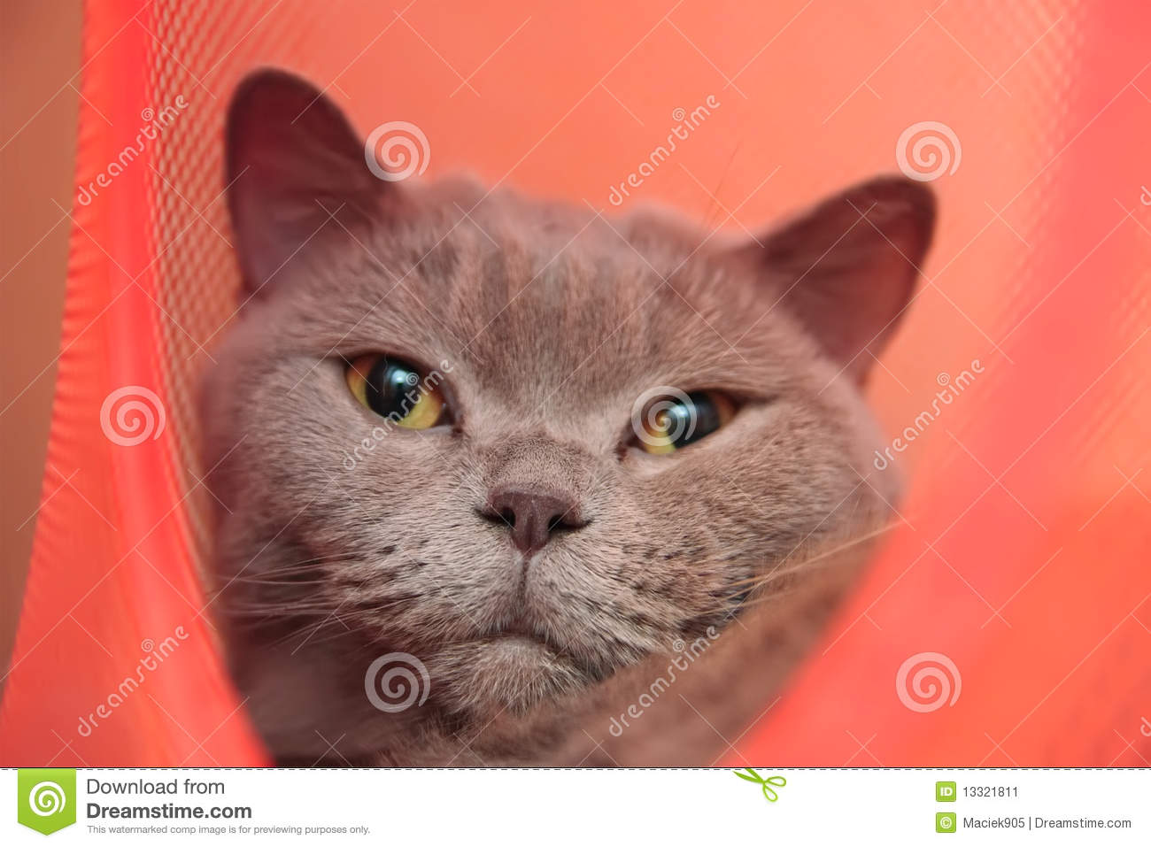 Cute british cat isolated on red